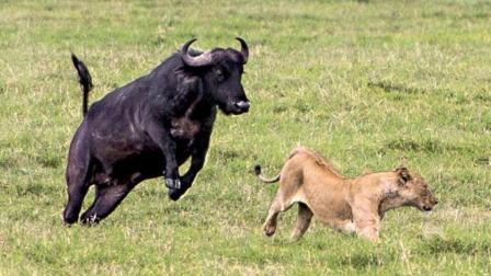如果没有这视频, 你不会相信牛才是动物世界的搞