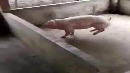 我家的猪吃饱饭了, 就是爱做运动啊, 你是来搞笑
