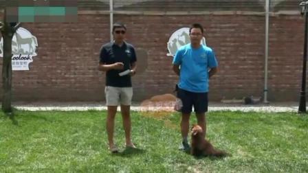 银狐犬怎样训金毛犬训练方法德国牧羊犬怎么喂养视频