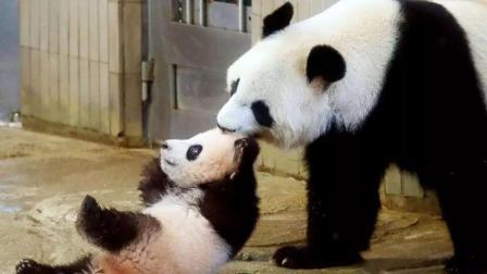 大熊猫刷爆日本朋友圈!