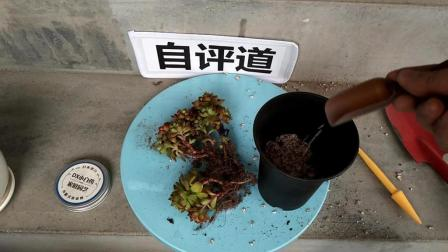多肉植物种植教程番杏科多肉植物生石花(石头花)怎么养种植栽培视频