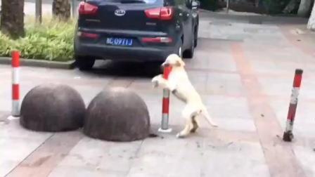 拉布拉多跳钢管舞 狗狗这姿势吓到我了 厉害了汪