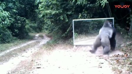 动物们遇到镜子中的自己各种懵圈, 猴子最搞笑