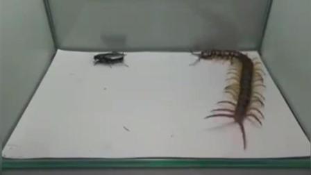 猎奇 大蜈蚣捕食蟑螂 简直太精彩了