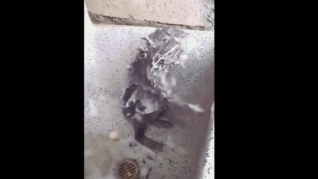 奇闻! 老鼠像人一样洗澡! 看呆网友!