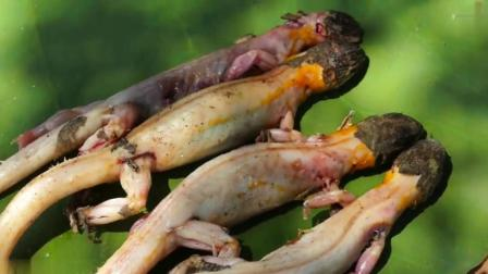 柬埔寨牛人自制神器捉蜥蜴, 一家人吃得太开心了