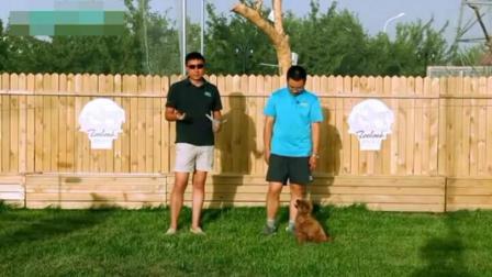 德国牧羊犬怎么喂养金毛犬训练方法银狐犬怎样训视频