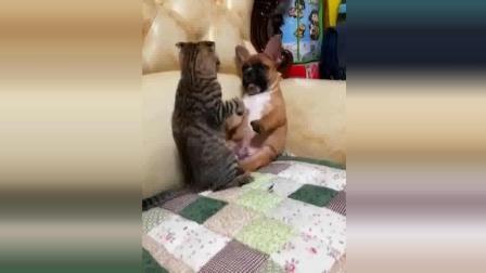 搞笑动物: 汪星人法斗跟喵星人打架, 这架势猫咪
