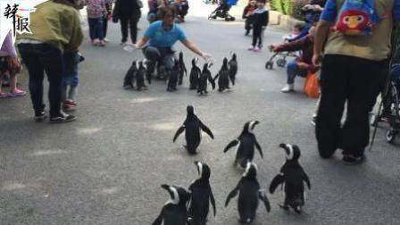 """上海""""温带企鹅""""上街溜达"""