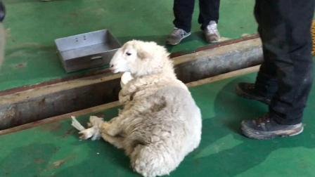 右玉过年杀羊   喜气洋洋