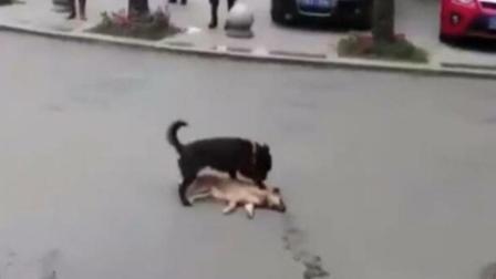 泪!小狗拍打同伴想唤醒它