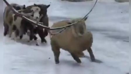 搞笑动物滑倒犹如车祸现场, 有冰的路面四条腿的