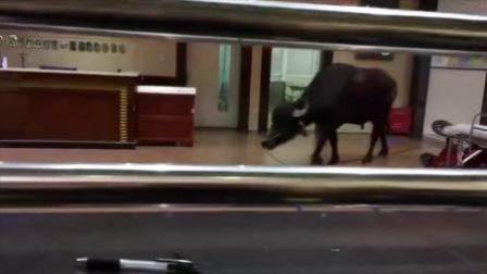 吓人!大黑牛闯进医院闲逛