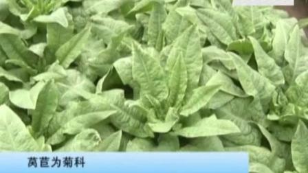种植绿色蔬菜莴苣,一年两茬种植技术杠杠的视频
