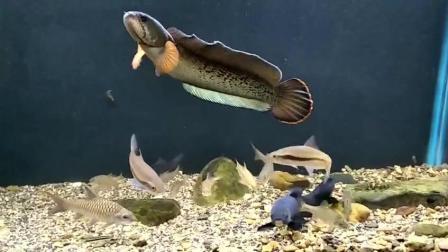 养原生鱼的体型v体型的一缸鱼,这条雷龙世界真黄鳝钓大大神视频直播图片