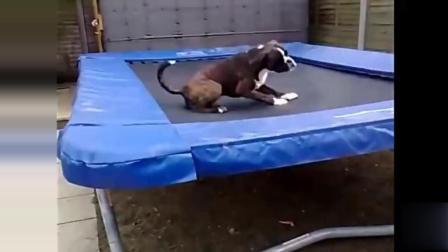宠物搞笑动物视频集锦: 喜欢玩蹦床的宠物汪星人