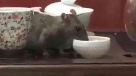 惊呆!老鼠成精喝起功夫茶
