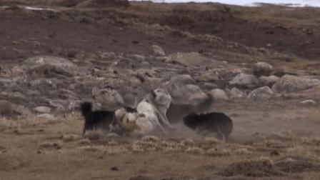 六只猎狗竟打不过一只狼! 还有一只狗直接被咬死了!