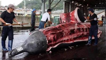 日本每年猎杀上千头鲸鱼, 难道真是吃吗? 答案绝没你想的那么简单