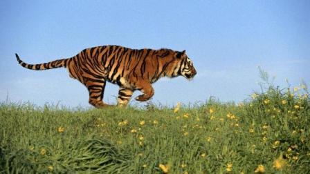 印度多只老虎以人类为食 一年间杀死22人