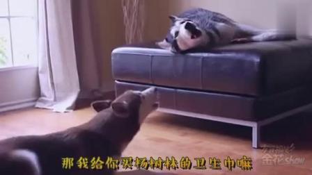 四川方言: 搞笑动物配音, 两只哈士奇像人一样吵