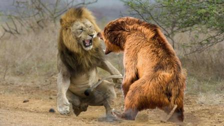 雄狮大战700KG巨熊, 谁才是真正的猛兽之王? 棕熊: 给我来十只
