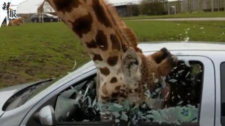 长颈鹿探头进车觅食撞碎游客玻璃