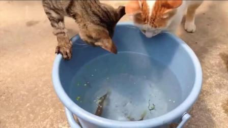 两喵星人在桶里抓鱼, 猜猜它们能抓到吗?