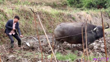 农村小伙牵着10几年的老水牛去耕地,居然被老水牛拖着满地转视频