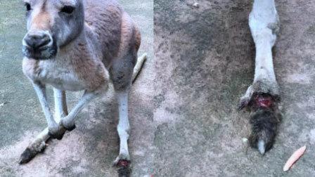 游客扔石头致袋鼠1死1伤