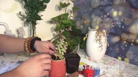 超美多肉植物爱星小老桩换新盆,价值瞬时提升,安全度夏品种视频