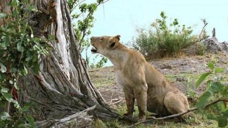 狮子惊险 –图片