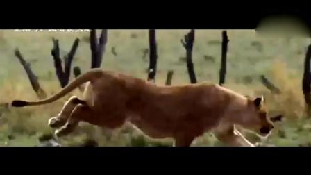 6头狮子想猎杀4头狂暴公水牛, 结果遇上真正的疯