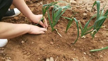 小白种植:今天农村小白教大家种植教程,以s710ds-off大葱图片