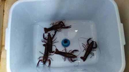 淡水小龙虾养殖技术视频