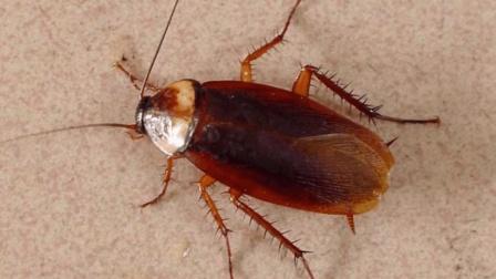 夏天蟑螂又出现了, 教你一招, 不花一分钱就能消灭它, 环保又方便
