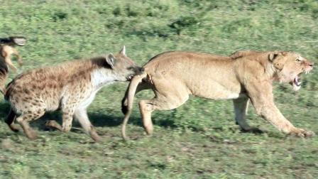 非洲草原两大势力的残酷搏杀, 母狮寡不敌众惨被凶残鬣狗掏肛