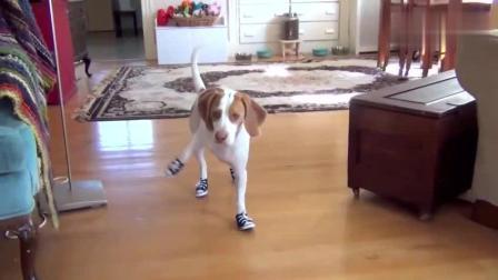 搞笑动物视频, 狗狗穿上鞋子之后, 内心是拒绝的