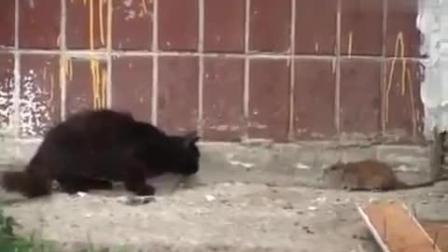 搞笑动物视频, 喝了二锅头的老鼠, 一群猫咪难架