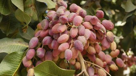 一棵果树上能长那么多的开心果, 为什么还卖那么贵呢?