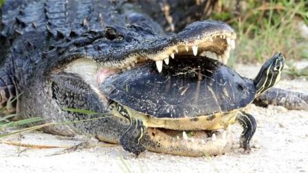唯一让鳄鱼怀疑鱼生的食物, 乌龟, 含嘴里半小时吃不下最后还被逃走, 笑喷
