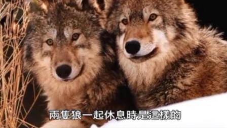 哈士奇和狼的区别!