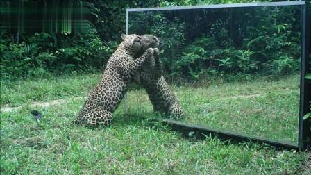 动物照镜子是什么反应? 银背被自己帅到, 花豹的反应让人哭笑不得