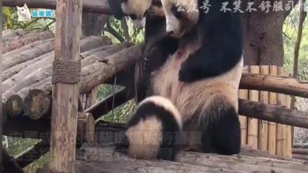 搞笑动物: 熊猫妈妈超粗鲁的带孩子方式-直接一
