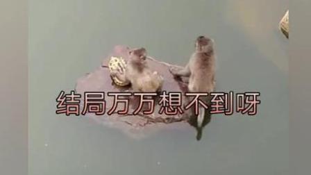 两猴恶搞乌龟, 终于知道西游记老龟为什么把唐僧