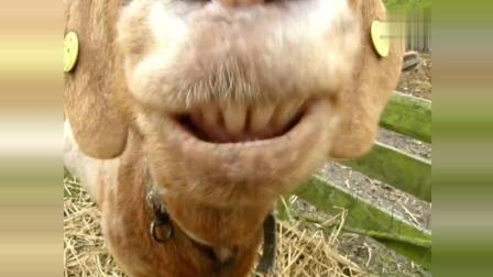 搞笑动物, 这羊是要成精了吗? 这表情真逗啊1