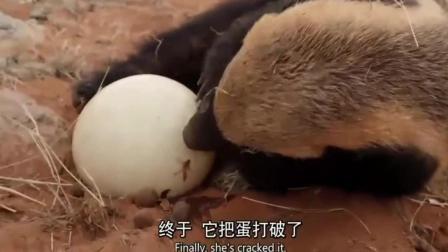 餓瘋的蜜獾偷鴕鳥蛋吃, 咬不動就砸爛, 當喝水吃!