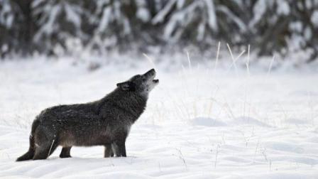 一个赤手空拳的成年人, 碰上成年野狼, 能活下来吗?