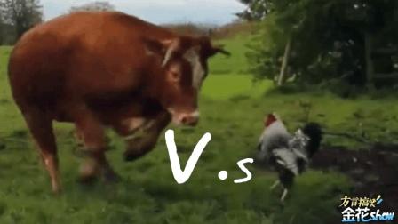 四川方言搞笑动物配音, 牛魔王对决战斗鸡, 笑的肚儿痛!