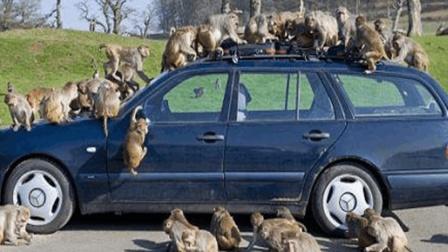 搞笑动物配音: 奔驰车惨遭猴子大卸八块, 只是为
